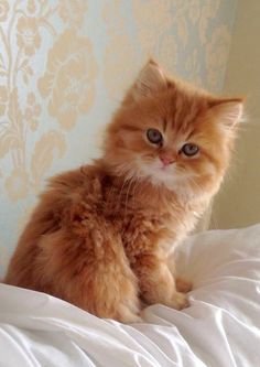 pretty ginger kitten