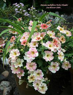 Petunia (Petunia multiflora 'Dolce Flambe') uploaded by Calif_Sue