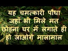 In this video, we have told about a plant which is mentioned in Vastu Shastra. According to Vastu Shastra, the house where this plant is planted never gets p. All Mantra, Success Mantra, Vedic Mantras, Hindu Mantras, Tips For Happy Life, Tulsi Plant, Positive Energy Quotes, Happy Birthday Flower, Diwali Images