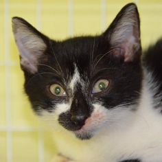 This Deuce is not wild- he is an affectionate male Domestic Short Hair kitten who has distinctive markings that set this handsome boy apart from the others...and yeah, he knows he's handsome! Deuce has been neutered, vaccinated and microchipped. His adoption fee is $40.