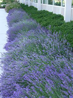 English Lavender. Botanical Name:  Lavandula angustifolia. Perrenial.