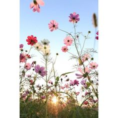 Cosmos flower with blue sky ❤ liked on Polyvore featuring backgrounds, flowers, landscape and wallpaper