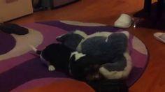 Beagle hirlau
