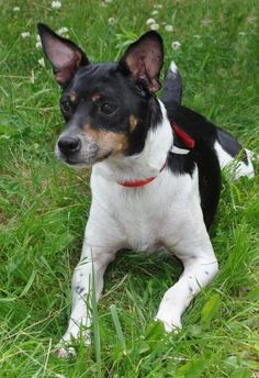 Petey is an adoptable Rat Terrier Dog in Pelham, NH Petey is a 5 year old rat terrier. He is an affectionate, medium energy dog who loves everyone  ... ...Read more about me on @petfinder.com