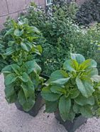 Stevia - Stevia (rebaudiana) -Most of us have heard of its sweet benefits.    Stevia leaves aids people with diabetes, hypoglycemia and high blood pressure.