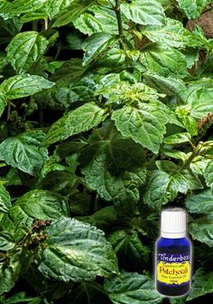 Patchouli Essential Oil (Pogostemon cablin) for aromatherapy, skin care and natural perfumes. Tinderbox: supplying pure essential oils since Patchouli Essential Oil, Pure Essential Oils, Aromatherapy, Herbalism, Fragrance, Essentials, Perfume, Skin Care, Pure Products