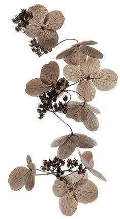 Hydrangea blossoms by Mary Jo Hoffman (Stillblog)