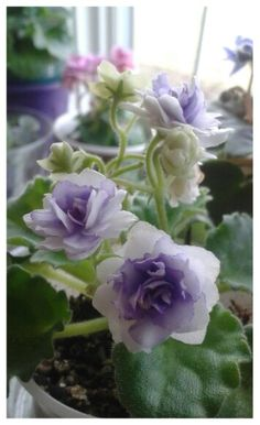 African violet, Winnergreen  photo by Elisa Allen