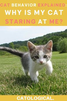 Why Do Cats Suddenly Stare at the Walls, Nothing, or Space Baby Kittens, Cats And Kittens, Cat Love Quotes, Cat Info, Kitten Care, Cats For Sale, Cat Behavior, Cat Facts, Cat Collars