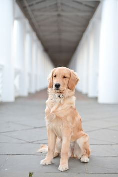 Golden retriever puppy at the University of Virginia, Scenes from Grounds | Samantha Brooke Photography #goldenretrieverpuppy