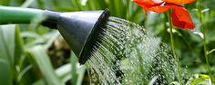 Regando as plantas - Como regar as plantas – O Guia definitivo Você já deve ter lido em algum lugar que deve regar um planta comregularidade, ou periodicamente. Outra situação bastante comum é a do vendedor dafloricultura, que certamente já lhe recomendou irrigar a planta nova diariamente, ou cada dois dias ou uma... - http://www.temosvagas.com.br/ecoblog/2017/07/09/regando-as-plantas/