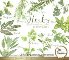 Vintage Herbs, Watercolor, Shabby Chic, botanical, rosemary, cilantro, salvia, parsley, laurel, Basil, Oregano, clipart, clip art, png, blog