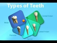 Types of Teeth & Functions -lesson for Kids