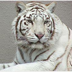 ホワイトタイガー|トラゾーン|野生の王国 群馬サファリパーク