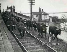 Cattle coming off Sheppey during floods in 1947