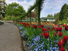 Tulips at the Butchart Gardens