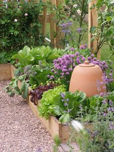 Tucked snugly around a terra cotta garden cloche in raised beds: lettuces, chives, rhubarb, and borage occupy a fairly small space.