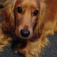 Brumbletown the Cocker Spaniel has signed up to BorrowMyDoggy! She is a happy-go-lucky little dog that loves cuddles and being part of the family!