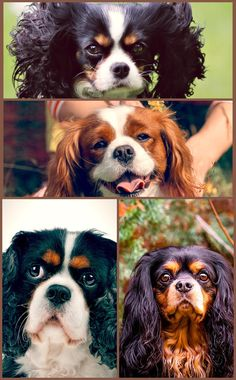 A Cavalier will pet your footsteps throughout the day, from kitchen area to restroom to office and back once again and chooses not to be left alone for hours on end. The ideal home is one with a stay-at-home parent, work-at-home partner or retired couple. Learn About Dogs In This Post Are you looking for methods for as being a responsible dog owner? Then, you have come on the right place. You can find a number of tips which will help you with regards to having a dog. Continue reading to understa Cavalier King Charles Dog, King Charles Spaniel, Left Alone, Dog Owners, Continue Reading, Puppies, Couple, Number, Pets