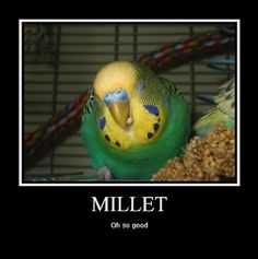 """Budgies absolutely go crazy for spray millet (NL """"Trosgierst"""") . Budgie Parakeet, Budgies, Bird Pictures, Funny Animal Pictures, Small Birds, Pet Birds, Animals And Pets, Cute Animals, Australian Parrots"""