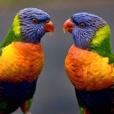 ~~ Face Off ~ Rainbow Lorikeets by Ann Van Breemen~~