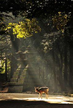 『光芒と小鹿』Nara, Japan
