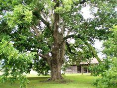 Pecan Tree For Simple Landscaping