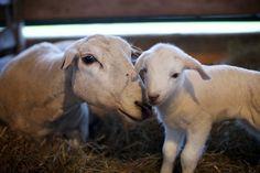 A ewe and her newbor