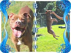 Tampa, FL - Pit Bull Terrier Mix. Meet Boo Boo, a dog for adoption. http://www.adoptapet.com/pet/10925748-tampa-florida-pit-bull-terrier-mix