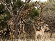 size: Photographic Print: Awesome South Africa Collection - Two Giraffes III by Philippe Hugonnard : Kruger National Park Safari, National Parks, Travel Activities, Walking Tour, Wilderness, South Africa, Photo Galleries, Giraffes, Wildlife