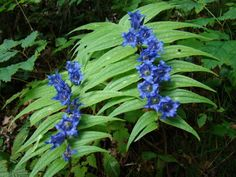 Gentiana asclepiadea, willow gentian, comes from the mountain ranges of Europe, grows where some extra moisture is available, but does not demand constant wet if given good garden soil with humus and light mulch. A site with open shade such as a woodland edge works best, 50cm, flowers in August-September.