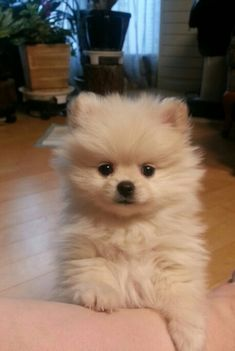 Pomeranian wants to play! - Pompon, my Boo - - Hunde babys - Puppies Cute Baby Dogs, Cute Little Puppies, Cute Dogs And Puppies, Cute Little Animals, Cute Funny Animals, Doggies, Puppies Puppies, Fluffy Puppies, Dalmatian Puppies