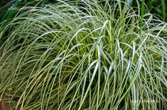 Ósimai Sás (Carex oshimensis) gondozása, szaporítása