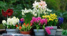 Cebulki kwiatowe sadzone wiosną