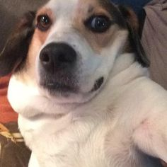 For all dog selfie lovers out there, check this app for taking dog selfies! Taking Dog, Dog Selfie, All Dogs, Selfies, Corgi, Lovers, App, Check, Animals