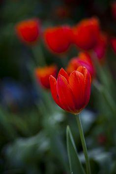 Tulip | Flickr - Photo Sharing!