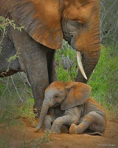 A baby elephant calf taking a dust bath with mom in Kruger National Park, South Africa., photo by Martin Heigan