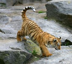 Tiger cub in Berlin Tierpark