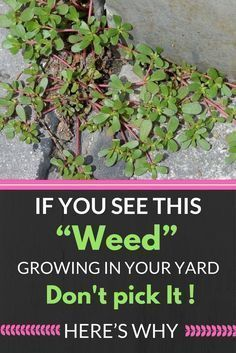 """If You See This """"Weed"""" Growing In Your Yard, Don't Pick It! Here's Why… http://wp.me/p8kXNw-e9"""