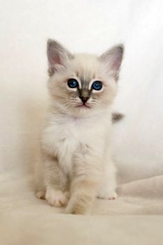 Cats and Kittens by SábaCat Birman Beauty Birman Kittens, Cats And Kittens, Cattery, Kittens Cutest, Queen, Animals, Beauty, Animales, Animaux