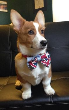 Corgi with a bowtie.... someone tell mr.sass