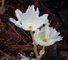 Coprinus Esta é uma espécie de menor dimensão, e costumava ser classificada como parte de um gênero maior, que incluiu os Agaricus (aquele do cogumelo com um chapéuzinho vermelho com manchas brancas), mas em 2001 foi declarado como uma espécie separada. Estudos moleculares descobriram que os Coprinus são tão diferentes dos Agaricus, que sequer podem ser considerados primos distantes. A família Coprinus é dividida em três sub-espécies: Coprinellus, Coprinopsis, e Parasola.