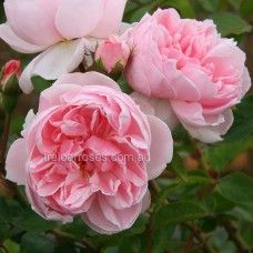 Climbing Cinderella* :- This superb climbing rose will enchant with its very healthy foliage and nostalgic shape of flower. Supposedly pretty disease resistant, including blackspot (hopefully in my area too). Beautiful Rose Flowers, Pink Flowers, Rose Foto, Cottage Garden Plants, Cottage Gardens, Rose Nursery, Types Of Roses, Australian Garden, Coming Up Roses