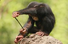 This clever chimpanzee proves it has the tools for success - by using a hollow stick to hunt for food. The imaginative creature strategically lowers the stick, found in the nearby forest, into a termite mound to try and catch its lunch. It then carefully places the stick to its mouth, and starts to suck the termites up so it can eat them.