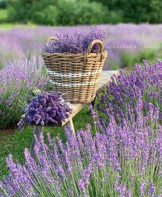 Lavender Cottage, Lavender Garden, Lavender Fields, Lavender Color, Lavender Flowers, Purple Flowers, Lavander, Roses Garden, Types Of Flowers