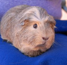 Baskerville is a very friendly youngster who walks up to you gently for nose tickles.  He is an attractive Crested & Peruvian mix guinea pig, about 18 months of age, and ready for adoption in Nevada SPCA's (www.nevadaspca.org) Lovebugs Room.  Baskerville was apparently regarded as a disposable toy.  He was surrendered to us by a man who said his daughter no longer wanted him.
