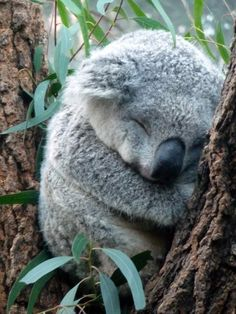 The koala, is Australia's national treasure and a rare and precious primitive arboreal in Australia. The English name Koala bear… Baby Animals Super Cute, Cute Little Animals, Cute Funny Animals, Cute Dogs, Funny Koala, Baby Koala, Baby Otters, Baby Animals Pictures, Cute Animal Pictures