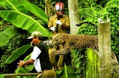 A male leopard prepares to pounce on a forest guard. The animal, out of the Mahananda Wildlife Sanctuary at Limbu village near Siliguri, India, was eventually subdued with tranquilizer darts, but died due to injuries sustained in the rescue operation. The leopard is one of 260 to die in 2011 in India as a result of human encroachment on jungle habitat. by Salil Bera