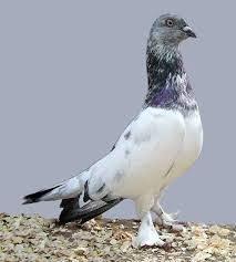 """Képtalálat a következőre: """"robert henkel pigeons"""""""