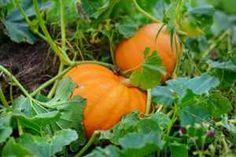 How to Grow Pumpkins Grow Pumpkins From Seeds, When To Plant Pumpkins, Giant Pumpkin Seeds, Planting Pumpkins, Pumpkin Flower, Pumpkin Leaves, Vegetable Garden Fertilizer, All About Plants, Barrel Planter